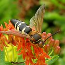 Cicada Killer Wasp by shutterbug2010