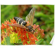 Cicada Killer Wasp Poster