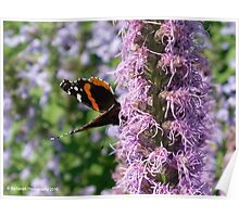 Butterfly Visits Lavender Flower Poster