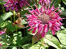 Hummingbird Moth Near Monarda Didyma - Raspberry Wine - Bee Balm Flower by Barberelli