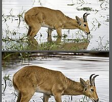 BOHOR REEDBUCK (Redunca redunca) REF PHOTO ABOVE, ART BELOW. PLEASE READ BLURB by owen bell