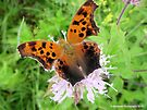 Orange and Black Moth on Flower by Barberelli