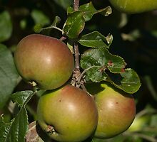 Apples by Aler
