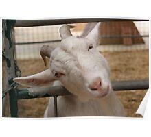wierd goat Poster