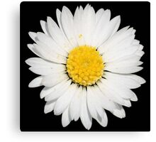 Top View of a White Daisy Isolated on Black Canvas Print
