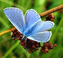 Common Blue by Jo Nijenhuis