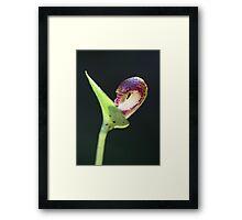 Emerging Helmet Orchid Framed Print
