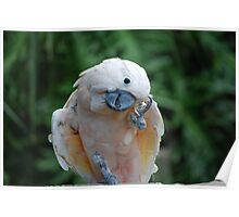 Peaches the Parrot Poster