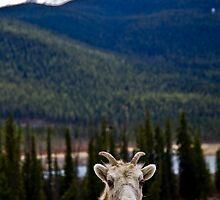 Big Horn Sheep near Lake Louise, Canada by Carmel Williams