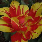 Monsella Tulip-Close Up by judygal