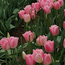 Beautiful Pink Tulips by judygal