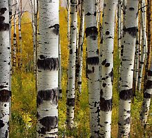 Aspen Trunks by David Kocherhans
