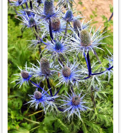 The splendour of sea holly Sticker