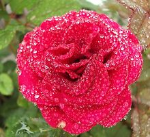 Dew on a Summer Rose by elementsbyjulie