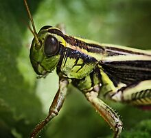 GrassHopper by TickerGirl