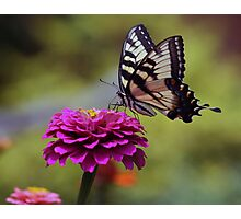 Yellow Tiger Swallowtail Butterfly Photographic Print