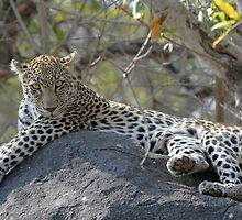 Leopard on the rocks!(I am king here!) by jozi1