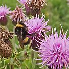 Bee on Thistle by sarnia2