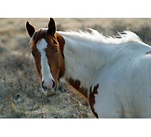 Paint on the Prairie, Montana horse picture. Photographic Print