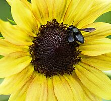 Sunflower and Black Bee by Widcat