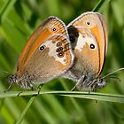 Mating Pearly Heath Butterflies by Hugh J Griffiths