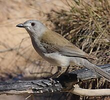 Grey Shrike Thrush by burnettbirder