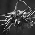 Monochrome Thistle by MIchelle Thompson