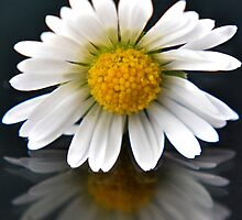 Just a Simple Daisy by Caroline Benzies Photography