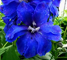 Delphinium Flower - Truely Blue by stevealder