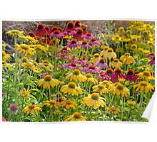 Colorful echinacea flowers Poster