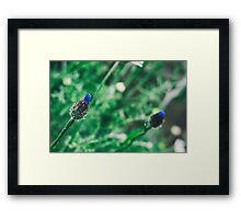 Cornflower Buds Framed Print