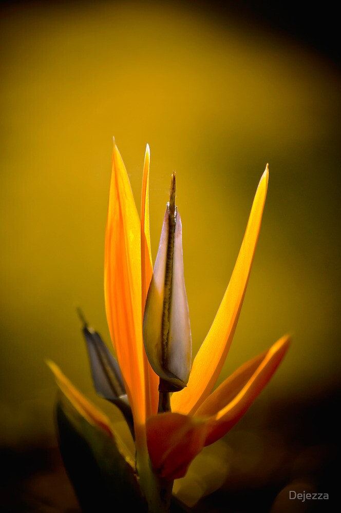Bird of Paradise. by Dejezza