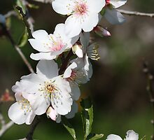 Almond tree blossoms by Etwin