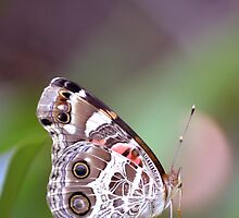 American Painted Lady butterfly by Amanda Christine Shelton