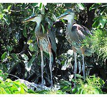 Hiding Herons, Wakodahatchee Wetlands, GL Photographic Print