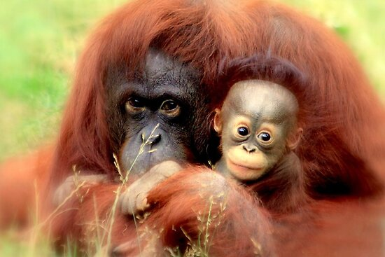 Bornean orangutan  by DutchLumix