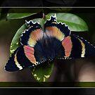 Zodiac Moth by Tanya Rossi