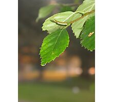 birch leaves Photographic Print