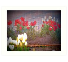 Tulips Behind The Fence Art Print