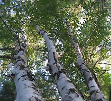 three birch trees by Leeanne Middleton