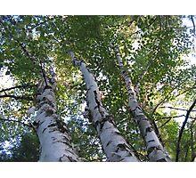 three birch trees Photographic Print