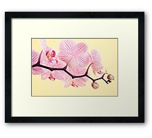 Pink phalaenopsis orchid blossoms Framed Print