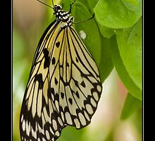 Paper Kite-Ricepaper Butterfly (Idea leuconoe) by Phil-Edwards