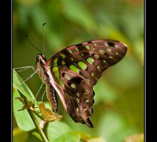 Tailed Jay Butterfly (Graphium Agamemnon) by Phil-Edwards