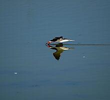 Just fishing- Black Skimmer at park in Edinburg Texas by chrstnmk