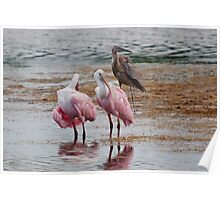 Two Spoonbills and a Great Blue Heron Poster