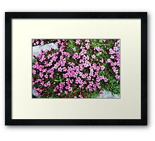 Moss campion or Cushion pink Framed Print