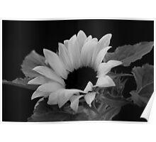 Sunflower 1327 Poster