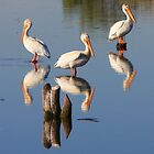 Perching Pelicans by David Kocherhans