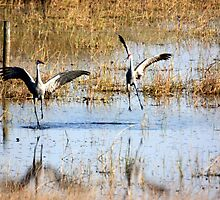 SANDHILL CRANE MATING DANCE by TomBaumker